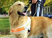 Guide dog golden retriever standing next to a man
